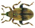 Rhynchaenus lonicerae Herbst, 1795 (8356365771).png