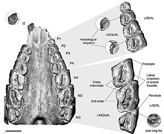 Rhynchippus - Palate and upper dentition of R. equinus