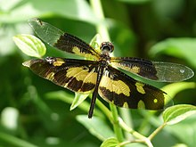 Rhyothemis variegata female at Kadavoor.jpg