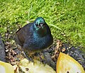 Ribbon-tailed Astrapia female. Astrapia mayeri (48727210277).jpg