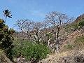 Ribeira Grande de Santiago-Baobabs (1).jpg