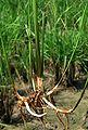 Rice rhizome.JPG