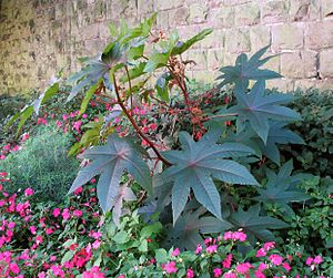 Kikayon - Young castor oil or ''Ricinus'' plant