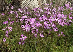 Ricotia lunaria, picture taken on Golan Heights, Israel