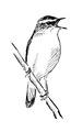 Rietzanger Acrocephalus schoenobaenus Jos Zwarts 4.tif