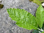Rock Whitebeam-leaf upper 2.jpg