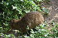 Rock hyrax at Boulders Penguin Colony 03.jpg