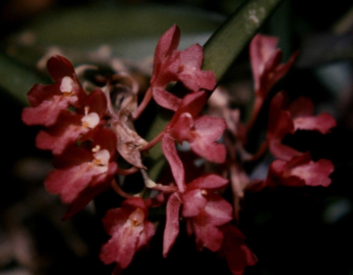 Rodriguezia lanceolata wikipedia for Anales del jardin botanico