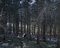 Rootplate catches the sun, Haldon Forest Park - geograph.org.uk - 1651985.jpg