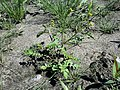 Rorippa palustris sl26.jpg