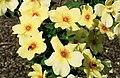 Rosa 'Fruhlingsgold' (cropped).jpg