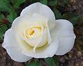Rosa 'Moondance', floribunda.jpg