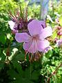 Rosa Blüten Geranium.JPG