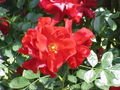 Rosa sp.272.jpg