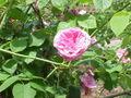 Rosa sp.68.jpg