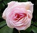 Rosarium Baden Rosa 'A Shropshire Lad' Austin 1996 02.jpg