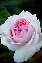 Rose, Masako (Eglantyne) - Flickr - nekonomania.jpg