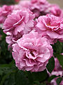 Rose, Tutu Mauve, バラ, テュテュ モーヴ, (12844884635).jpg