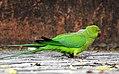 Rose-ringed Parakeet Psittacula krameri Female by Dr. Raju Kasambe DSCN8927 (15).jpg