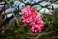 Rose (45176073295).jpg