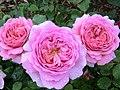 Rose Princess Alexandra of Kent バラ プリンセス アレキサンドラ オブ ケント (6838712558).jpg