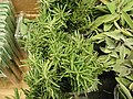 Rosemary for sale.jpg