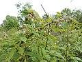 Rubus idaeus kz07.jpg
