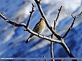 Rufous-backed Redstart (Phoenicurus erythronotus) (15892275261).jpg