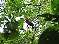 Rufous-necked Hornbill Namdapha IMG 4668.jpg