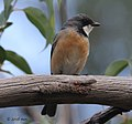 Rufous Whistler (Pachycephala rufiventris) at Bushland Nature Trail, Kings Park, Perth WA.jpg