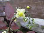 Ruhland, Grenzstr. 3, gelbe Elfenblume im Garten, blühend, Frühling, 04.jpg