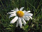 Anthemis nobilis flower