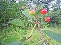 Russian cherry.jpg