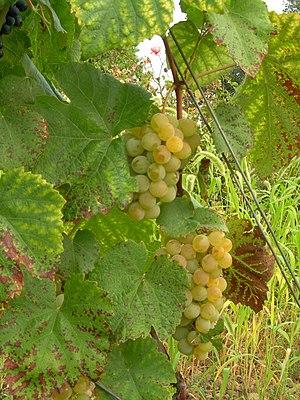 Noah (grape) - Noah grape