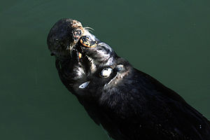 Soft-shell clam - A sea otter at Moss Landing, California, eating what appear to be Mya arenaria