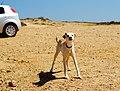 Sagres Dog (7321614244).jpg