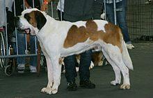Northampton Saints Dog Collar
