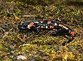 Salamandra salamandra Saarland 020.jpg