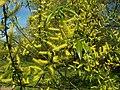 Salix alba 011.jpg