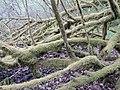 Salix cinerea kz13.jpg