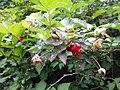 Salmonberry (Rubus spectabilis) - Flickr - brewbooks (1).jpg