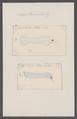 Salpa tricuspida - - Print - Iconographia Zoologica - Special Collections University of Amsterdam - UBAINV0274 092 08 0054.tif