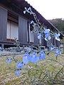 Salvia azurea Blue sage サルビア・アズレア 丹波並木道公園 DSCF0796.JPG