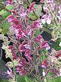 Salvia hierosolymitana - Flickr - peganum (1).jpg