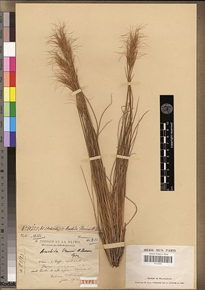 Flora of Madagascar - Sartidia perrieri, a now-extinct grass species collected only once, by Henri Perrier de la Bâthie in 1914, and described by Aimée Camus.