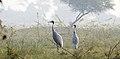 Sarus Crane Grus antigone habitat by Dr. Raju Kasambe DSCN7348 (2).jpg
