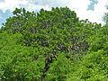 Sausage Tree (Kigelia africana) (11530898633).jpg