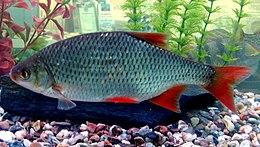 Scardinius erythrophthalmus in aquarium