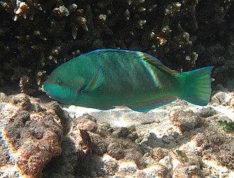 Parrotfish - Image: Scarus globiceps mâle