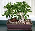 Schefflera bonsai 1.jpg